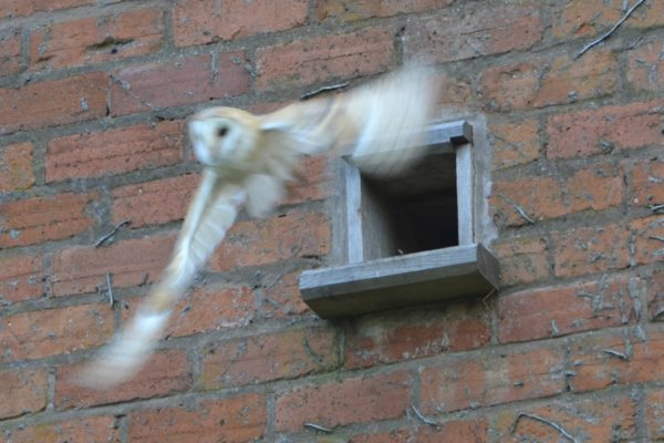 mutton Barn Barn owls