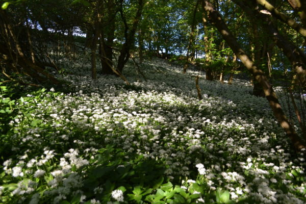 Alne Woods at Mutton Barn Wild Garlic