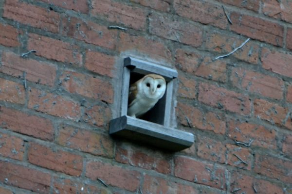 Mutton Barn Resident Barn Owls